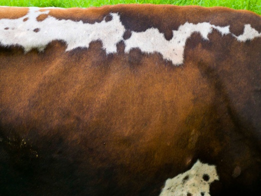 Markings of a Dairy Cow