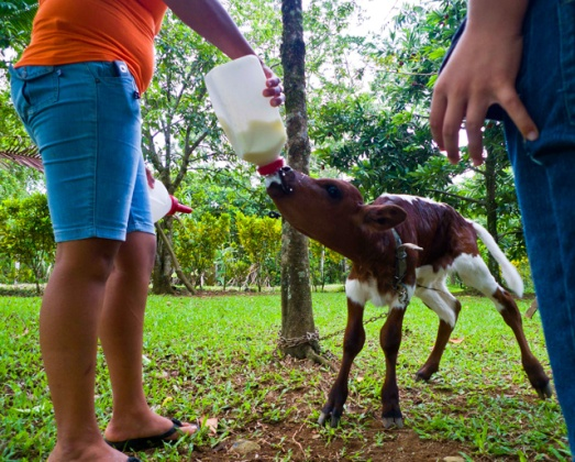 Image Bottle feeding calf