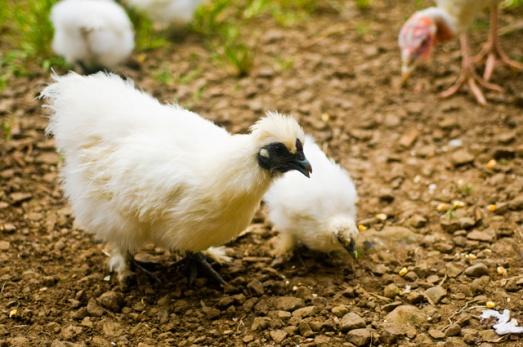 Interesting animals Chick