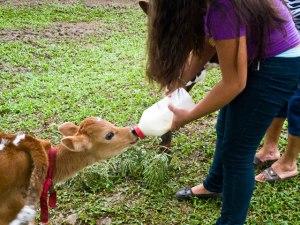 Milking Calf